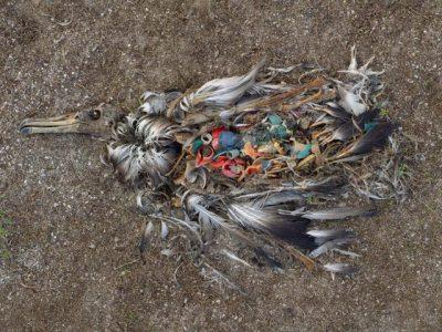 Esqueleto de albatro muerto, donde se aprecian los plásticos contaminantes en su interior. Fotografía © Chris Jordan
