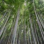 Bambú: el acero vegetal