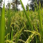 El uso del arroz en la construcción de viviendas